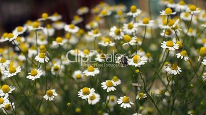 Flowering chamomile sways blown by a breeze and one beetle