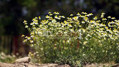 Flowering chamomile sways blown by a breeze