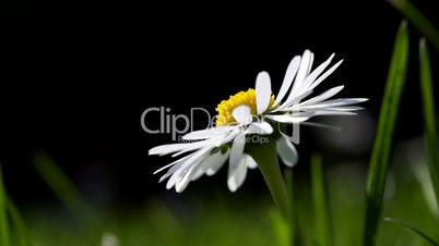 Close up of single daisy on green grass meadow