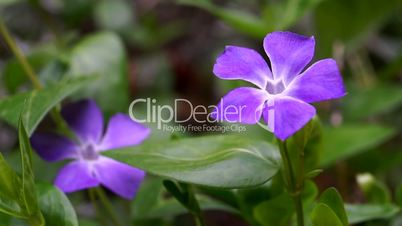 Close up of Common periwinkle Vinca minor on green meadow