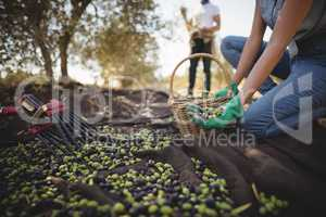 Mid section of woman collecting olives at farm