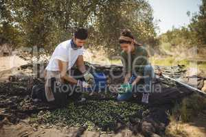Couple collecting olives at farm during sunny day