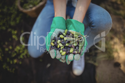 Mid section of woman showing olives at farm