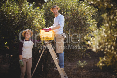 Smiling young couple with crate and ladder plucking olives at farm