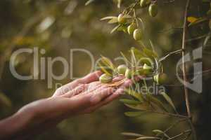 Hands of woman touching olive tree at farm