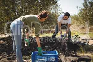 Woman holding crate while man collecting olives at farm