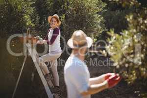 Young woman plucking olives with man in foreground at farm