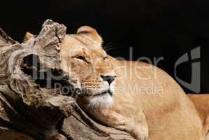 A lion rests in the sun