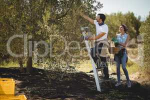 Woman holding basket while man plucking olives at farm