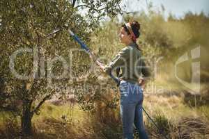 Young woman using olive rake at farm