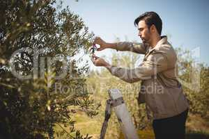 Man cutting olives on sunny day at farm