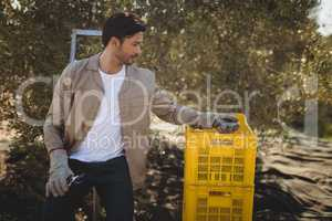 Young man collecting olives in crate at farm