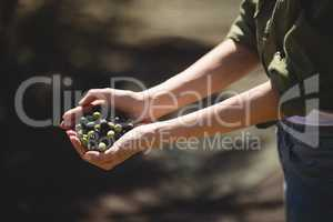 Mid section of woman holding olives at farm