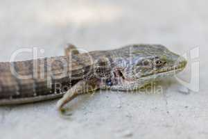 Adult California Alligator Lizard - Elgaria multicarinata multicarinata.