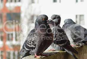 Gray urban pigeons