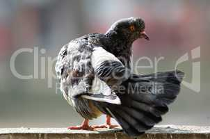 Pigeon cleans feathers