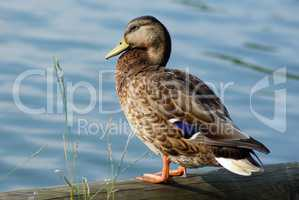 Duck mallard female