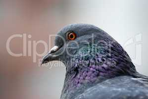 Pigeon head close up