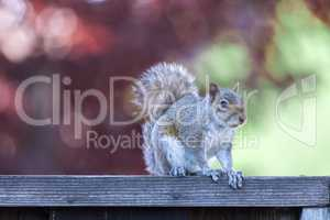 Eastern Gray Squirrel (sciurus carolinensis) posing on backyard fence with late afternoon natural lights.