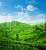 Tea plantation landscape view