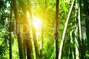 Bamboo forest and sun flare