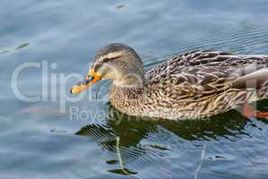 Duck mallard swimming