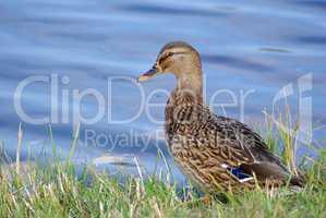 Duck mallard on shore