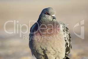 Beautiful pigeon outdoors