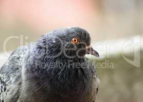 Closeup of pigeon