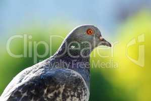 Pigeon on green background