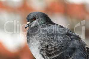 Pigeon in profile
