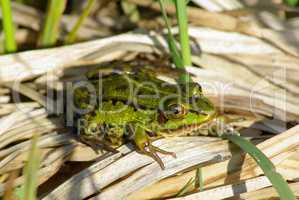 Green frog resting