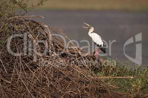 Asian open-billed stork opens beak by lake