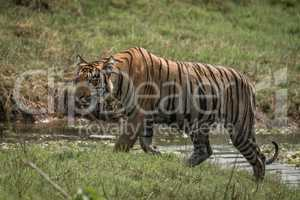 Bengal tiger climbs riverbank right-to-left in sunshine