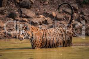 Bengal tiger in water with dripping tail