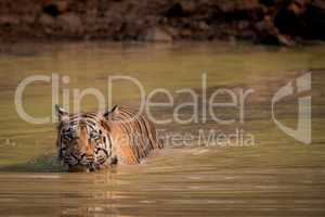 Bengal tiger leaves wake in water hole