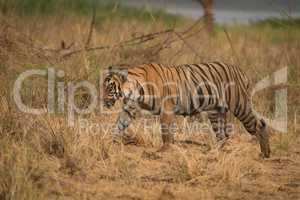 Bengal tiger walks right-to-left in dry grassland