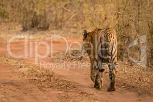 Bengal tiger walks towards bend in track
