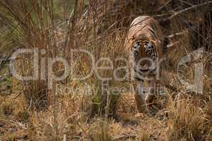 Bengal tiger walks towards camera from bushes