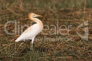 Cattle egret stands with head held back