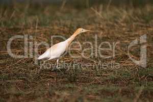 Cattle egret leaning forward as it walks