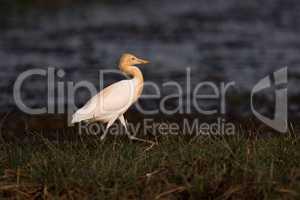 Cattle egret walks along grassy lake shore