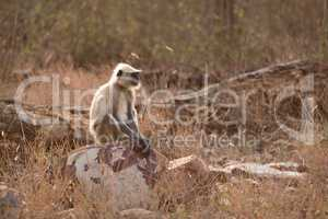 Hanuman langur sitting on rock in sunshine