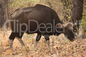 Indian gaur walking past trees in woods