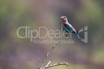 Indian roller on branch with blurred background