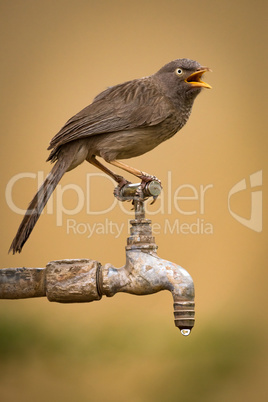 Jungle babbler with open beak on tap