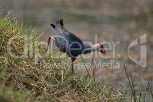 Purple moorhen descends grassy hill by water