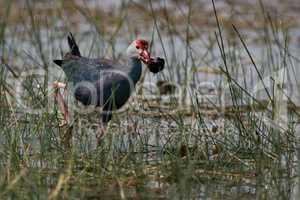 Purple moorhen wades through shallows with snail
