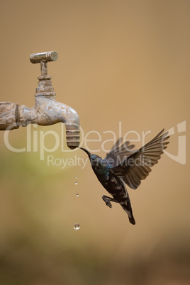 Purple sunbird drinks from dripping garden tap