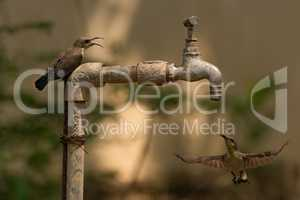 Sunbird watches another hover under outdoor tap